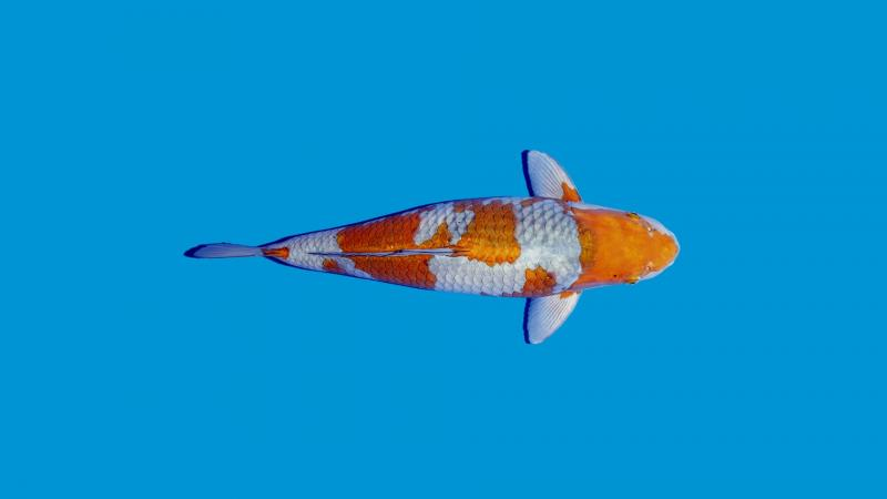 Varianta koi Ochiba