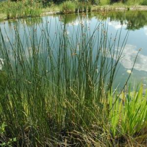 6 vodních rostlin do zahradního jezírka